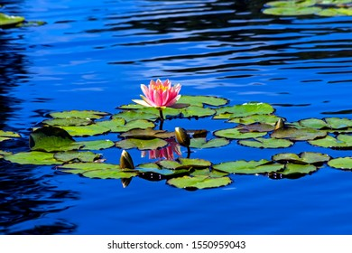 The beautiful pink water lilies in the morning.