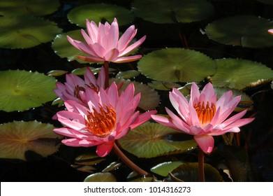 Beautiful pink water lillies bloom in a pool at the Birmingham Botanical Gardens in Birmingham, Alabama.
