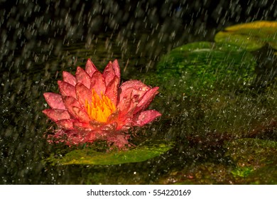 A beautiful pink water lily or lotus flower in pond with rain drop