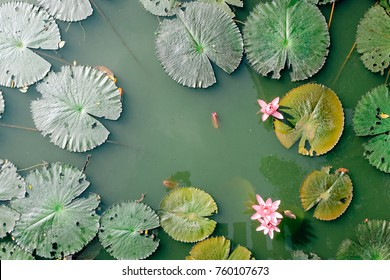 Beautiful pink water lily or lotus flower in pond. Top view.