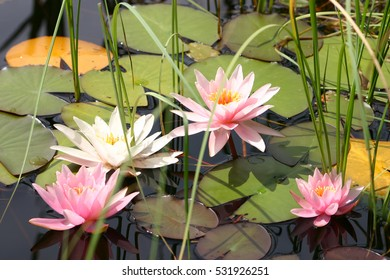 Shutterstock lotus flower album lilies picturesque www watercolor flowers water lilies dragonfly floral stock illustration lotus water shutterstock album lilies picturesque jpg 390x280 mightylinksfo