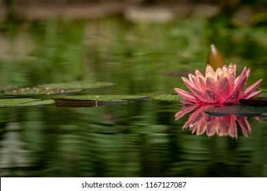 A beautiful pink water lily 'Perry's Orange Sunset' with delicate petals  in a pond on a background of dark leaves. The nymphaea and leaves are covered with water drops. Place for your text.