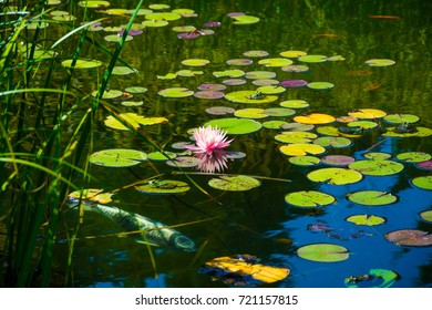 Beautiful pink water-lily, fish and frogs