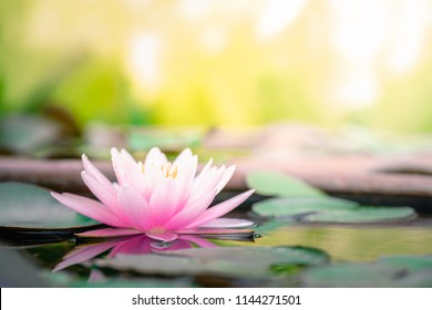 Beautiful pink waterlily or lotus flower in pond.copy space for add text.