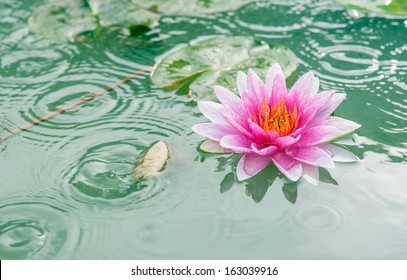 A beautiful pink waterlily or lotus flower in pond with rain drop