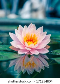 Lotus flower pond images stock photos vectors shutterstock a beautiful pink waterlily or lotus flower in pond mightylinksfo