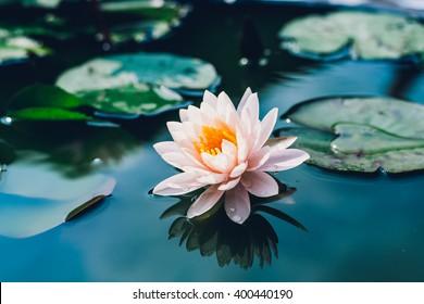 beautiful pink waterlily or lotus flower in pond,vintage tone