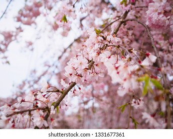 Beautiful pink weeping cherry blossom (Shidarezakura) blooming in spring season of Japan