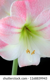 Beautiful pink and white amaryllis portrait.  A popular sub tropical bulb that is a favorite bloom grown indoors that produces large, stunning bell shaped flowers