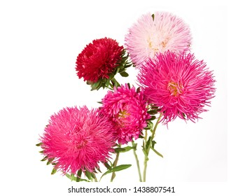 beautiful pink and white aster flower bunch isolated on white background closeup, five asters