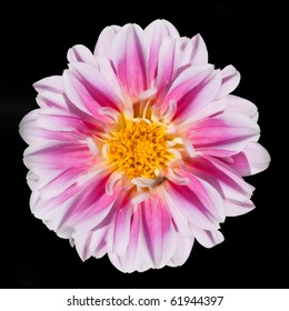 Purple flower with yellow center images stock photos vectors beautiful pink and white dahlia flower with yellow center isolated on black background mightylinksfo