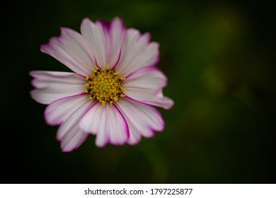 beautiful pink and white flower