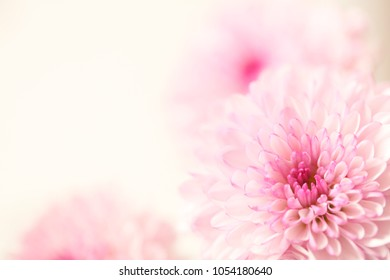 A beautiful pink and white flower with a pastel cream colored soft focus background.