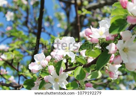 Beautiful Pink White Flowers Apple Tree Stock Photo Edit Now