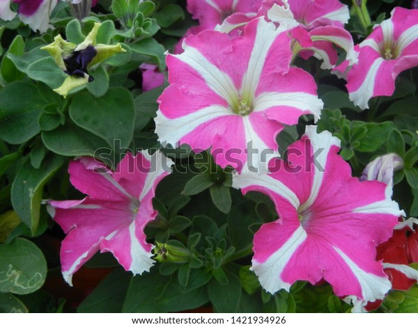 beautiful pink and white flowers with green leaves