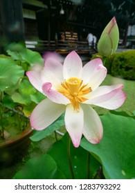 Beautiful pink and white lotus flower in full bloom in a Japanese garden