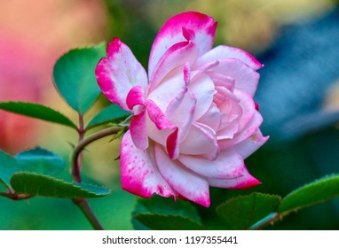 Beautiful Pink and White Rose, closeup, isolated, colorful background