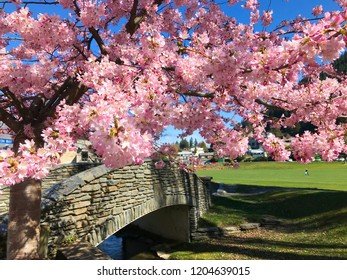 Beautiful pink and white sakura cherry blossom with blue sky and mountain and lake in New Zealand in spring time