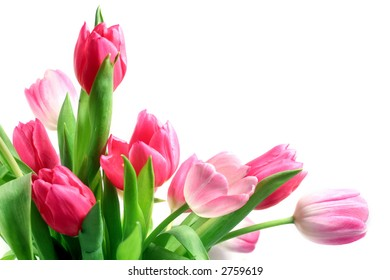Beautiful pink and white tulips (Tulipa) on white background