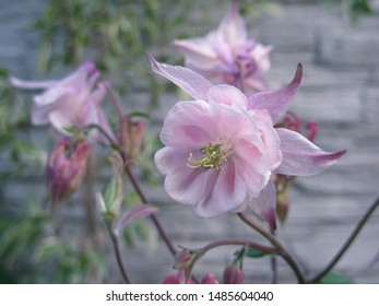Beautiful pink wild columbine flower blossom, aquileia