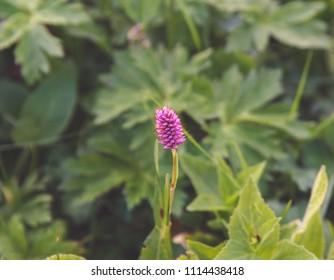 Beautiful pink wild flower close-up in grass