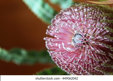 Beautiful pink and yellow Banksia flower from Australia