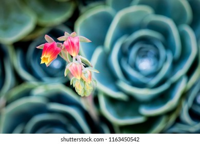 Beautiful pink and yellow flowers on a flower stalk coming from a blue and green echeveria succulent plant. Large group of succulents make up a beautiful blurry background.
