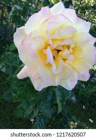Beautiful pink and yellow rose.