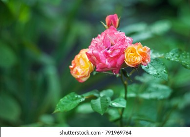 Beautiful pink and yellow rose flower bush with natural green background