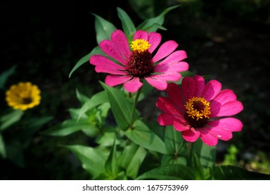 Beautiful Pink Zinnia Flowers in the garden.  Zinnia is a genus of plants of the sunflower tribe within the daisy family.