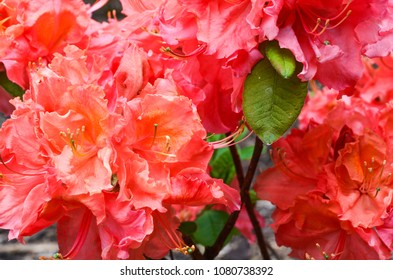Beautiful pinkish, orangy, peachy rhododendron blooming in Kornik's arboretum. Large flowers of blooming rhododendrons.