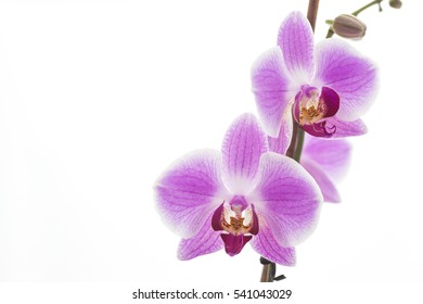 beautiful pinkorchid on white background isolated