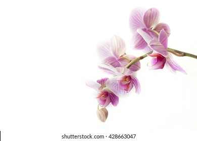 Beautiful pink-purple orchid on white background. Isolated on white