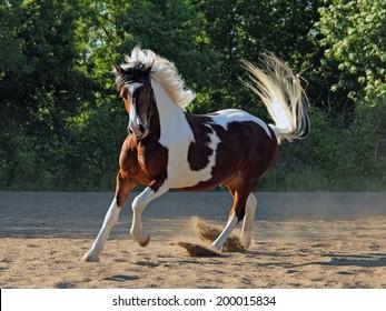 Beautiful pinto stallion running away in nature