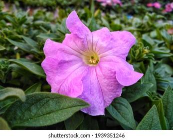 A Beautiful pitunia flower in the garden