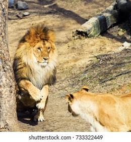 Beautiful playful Mighty Lion