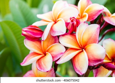 The beautiful Plumeria flowers close up background.