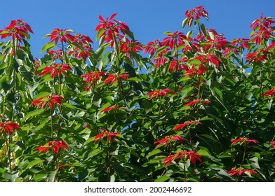Beautiful poinsettia or euphorbia pulcherrima shrub blooming in the wild with bright red bracts against blue sky background, Arunachal Pradesh, India