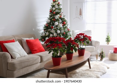 Beautiful poinsettia on wooden table in living room. Traditional Christmas flowers