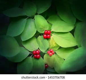 beautiful poisonous wolf berries photographed close-up on a background of green sheets