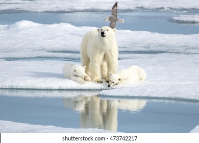 A beautiful polar bear family in the sea ice! The two cubs feel safe while the mother bear keeps a watch and are able to relax. An arctic fulmar can be seen flying in the background.