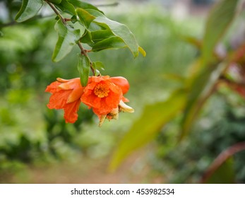 Beautiful pomegranate flower