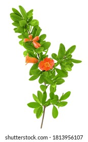 Beautiful Pomegranate (Punica granatum) tree branch with blooming red flowers and leaves isolated on a white background