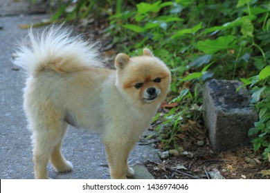 Beautiful Pomeranian dog,  is a breed of dog of the Spitz type that is named for the Pomerania region in north-west Poland and north-east Germany in Central Europe