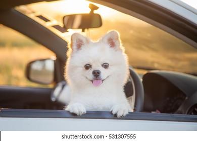 Beautiful pomeranian dog. Cute dog in car. Sunset