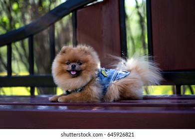 Beautiful pomeranian dog. Dog on a bench in the park.