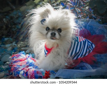 Beautiful pomeranian dog from USA on the fourth of july. A tiny and beautiful american pomeranian dog from the USA during the fourth of july celebrating independence day.