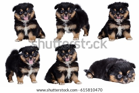 Beautiful Pomeranian Mix Chihuahua Puppy Isolated Stock Photo Edit