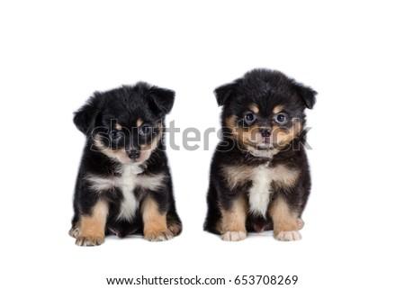 Beautiful Pomeranian Mix Chihuahua Puppy Isolated Stock Photo Edit