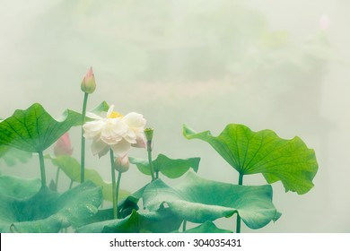 The beautiful pond lotus in foggy weather